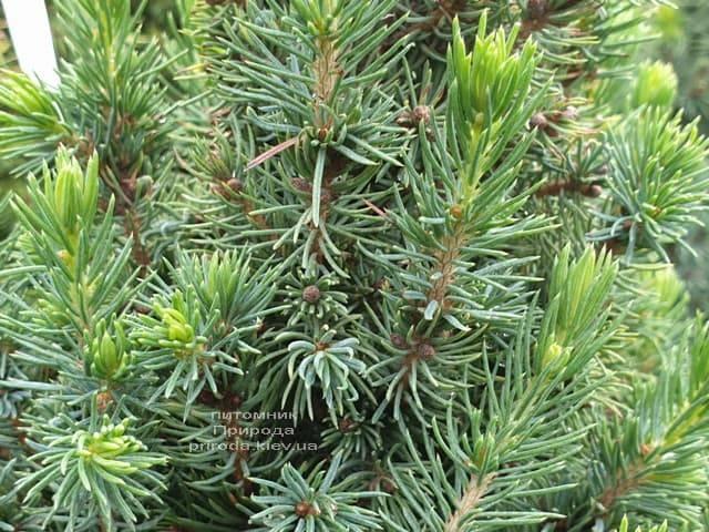 Ель канадская Сан он зе Скай (Picea glauca Sun on the Sky) ФОТО Питомник растений Природа (6)