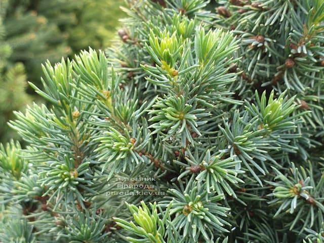 Ель канадская Сан он зе Скай (Picea glauca Sun on the Sky) ФОТО Питомник растений Природа (7)