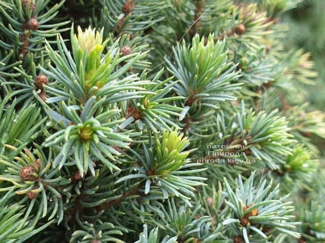 Ель канадская Сан он зе Скай (Picea glauca Sun on the Sky) ФОТО Питомник растений Природа (8)