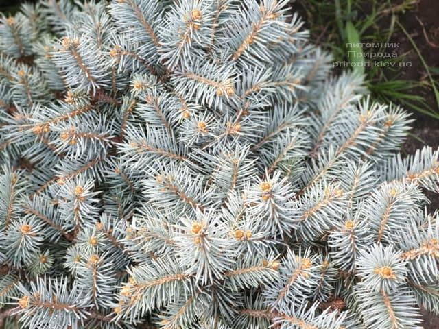 Ель колючая Мериз Брум (Picea pungens Mary's Broom) ФОТО Питомник растений Природа (1)