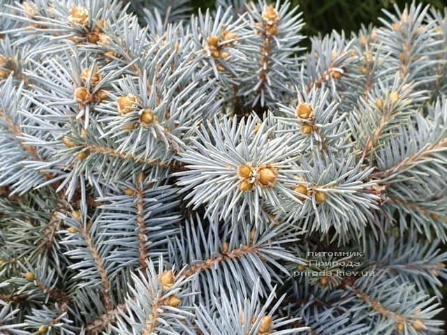 Ель колючая Мериз Брум (Picea pungens Mary's Broom) ФОТО Питомник растений Природа (2)