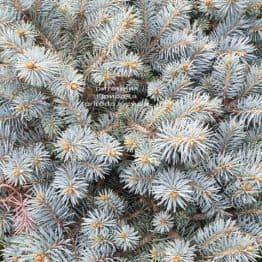 Ялина колюча Мерізі Брум (Picea pungens Mary's Broom) ФОТО Розплідник рослин Природа (3)
