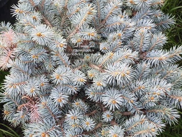 Ель колючая Мериз Брум (Picea pungens Mary's Broom) ФОТО Питомник растений Природа (3)
