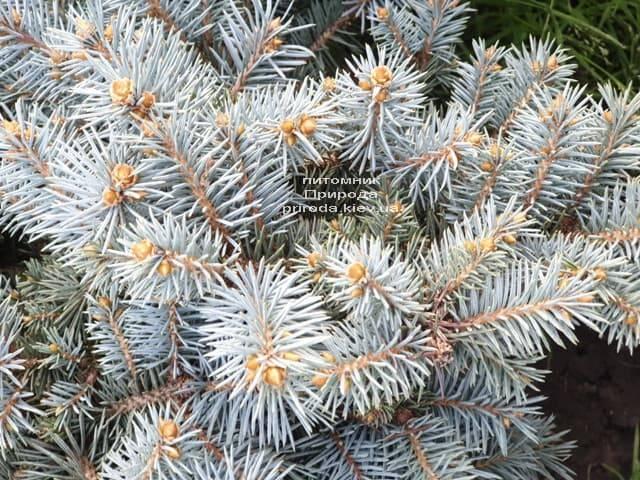 Ель колючая Мериз Брум (Picea pungens Mary's Broom) ФОТО Питомник растений Природа (5)