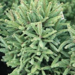 Ялина звичайна Компакта (Picea abies Compacta) ФОТО Розплідник рослин Природа (4)