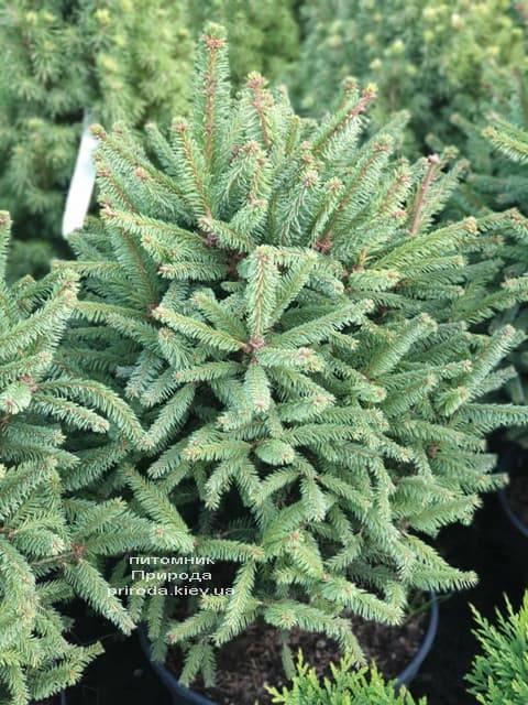 Ель обыкновенная Компакта (Picea abies Compacta) ФОТО Питомник растений Природа (5)