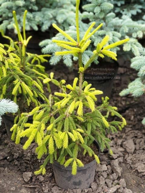 Ель обыкновенная Финедоненсис (Picea abies Finedonensis) ФОТО Питомник растений Природа (1)