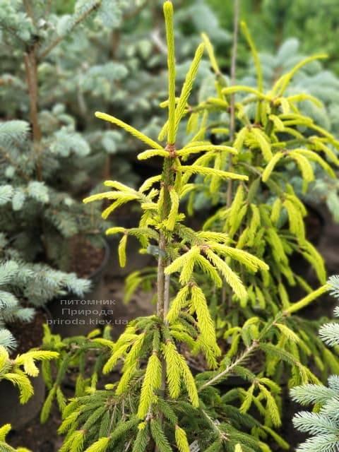 Ель обыкновенная Финедоненсис (Picea abies Finedonensis) ФОТО Питомник растений Природа (2)