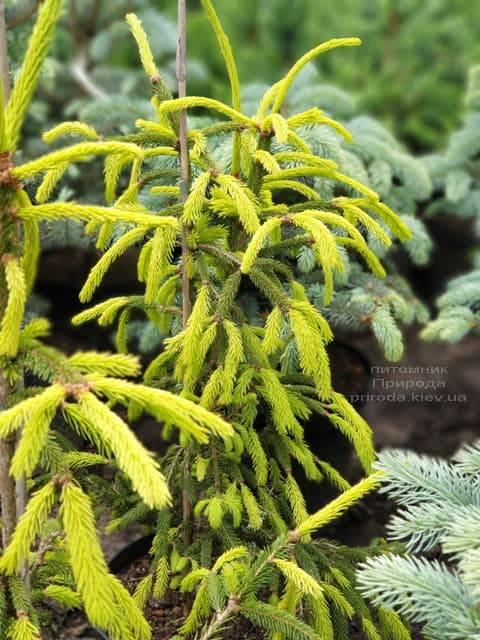 Ель обыкновенная Финедоненсис (Picea abies Finedonensis) ФОТО Питомник растений Природа (3)