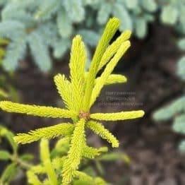 Ялина звичайна Фінедоненсіс (Picea abies Finedonensis) ФОТО Розплідник рослин Природа (4)