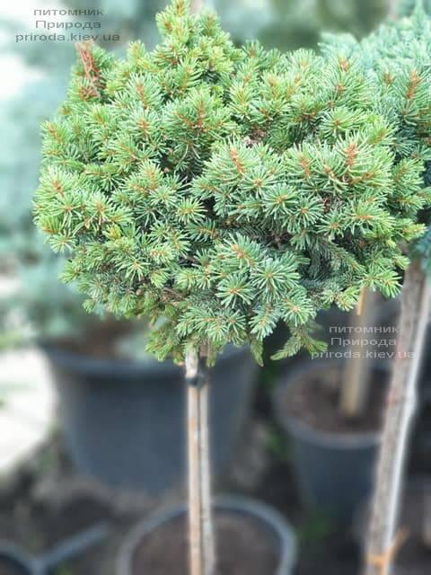 Ель обыкновенная Плейн (Picea abies WB Plane) ФОТО Питомник растений Природа (1)