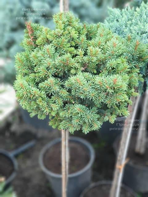 Ель обыкновенная Плейн (Picea abies WB Plane) ФОТО Питомник растений Природа (2)