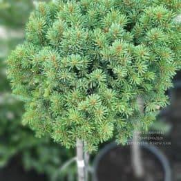 Ялина звичайна Плейн (Picea abies WB Plane) ФОТО Розплідник рослин Природа (3)