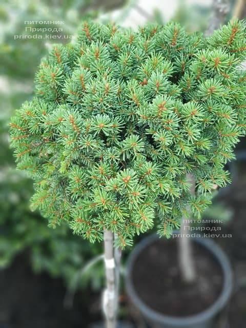 Ель обыкновенная Плейн (Picea abies WB Plane) ФОТО Питомник растений Природа (3)