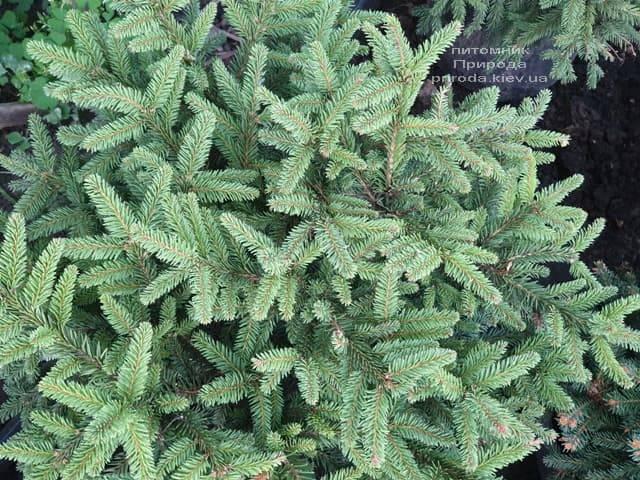 Ялина звичайна Пуміла Нигра (Picea abies Pumila Nigra) ФОТО Розплідник рослин Природа (1)