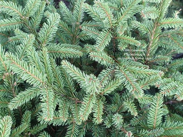 Ялина звичайна Пуміла Нигра (Picea abies Pumila Nigra) ФОТО Розплідник рослин Природа (2)