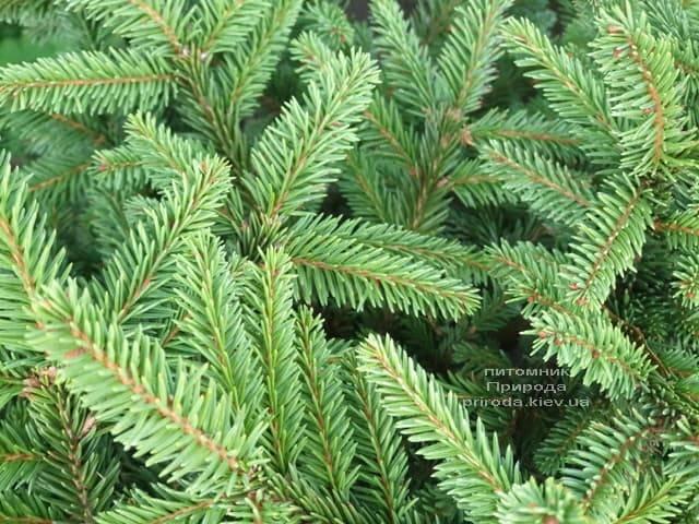 Ялина звичайна Пуміла Нигра (Picea abies Pumila Nigra) ФОТО Розплідник рослин Природа (4)