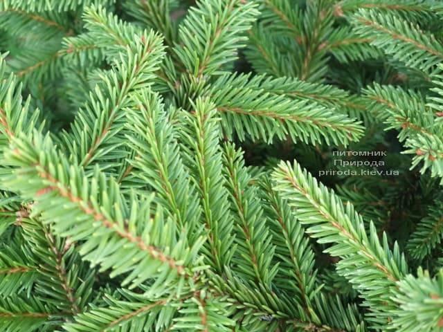 Ялина звичайна Пуміла Нигра (Picea abies Pumila Nigra) ФОТО Розплідник рослин Природа (5)