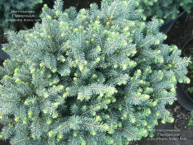 Ель сербская Карел (Picea omorika Karel) ФОТО Питомник растений Природа (1)