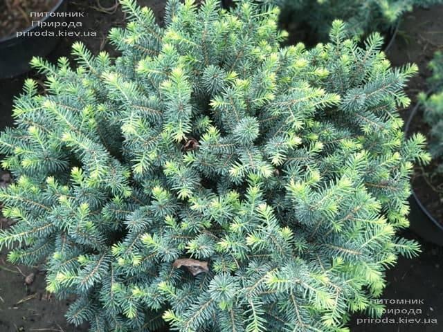 Ель сербская Карел (Picea omorika Karel) ФОТО Питомник растений Природа (2)