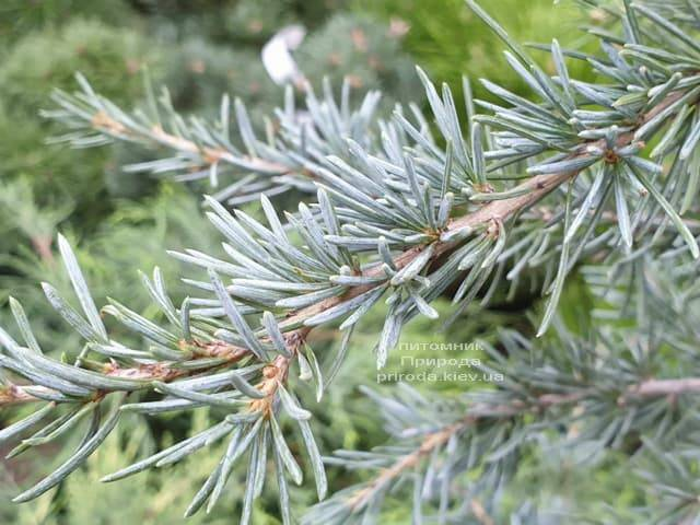 Кедр гималайский Карл Фукс (Cedrus deodara Karl Fuchs) ФОТО Питомник растений Природа (2)