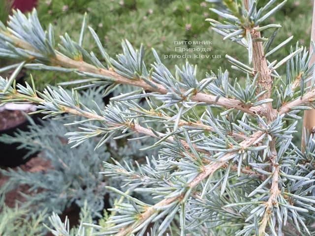 Кедр гималайский Карл Фукс (Cedrus deodara Karl Fuchs) ФОТО Питомник растений Природа (3)
