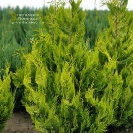 Кипарисовик Лавсона Ивонне (Chamaecyparis lawsoniana Ivonne) ФОТО Питомник растений Природа (7)