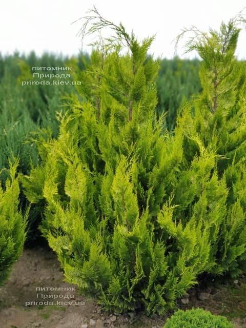 Кипарисовик Лавсона Івонне (Chamaecyparis lawsoniana Ivonne) ФОТО Розплідник рослин Природа (7)