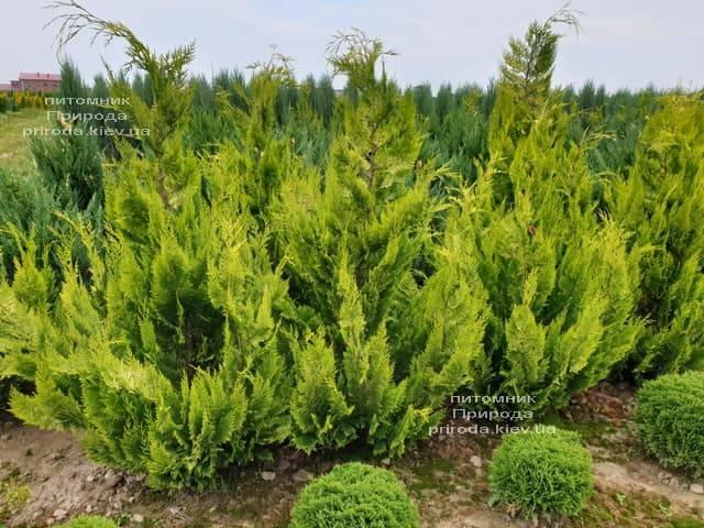Кипарисовик Лавсона Івонне (Chamaecyparis lawsoniana Ivonne) ФОТО Розплідник рослин Природа (8)