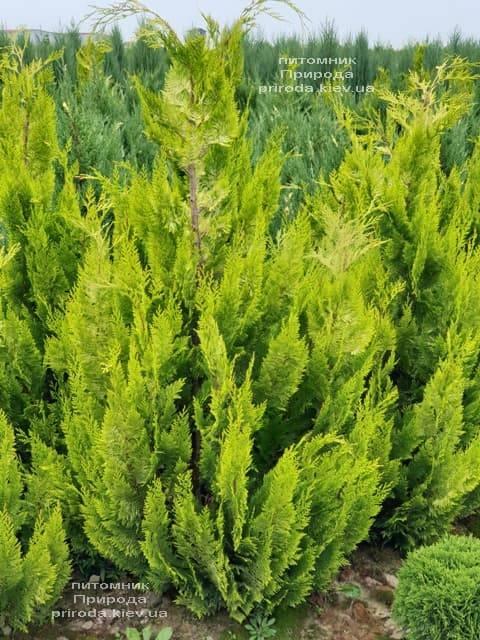 Кипарисовик Лавсона Івонне (Chamaecyparis lawsoniana Ivonne) ФОТО Розплідник рослин Природа (9)