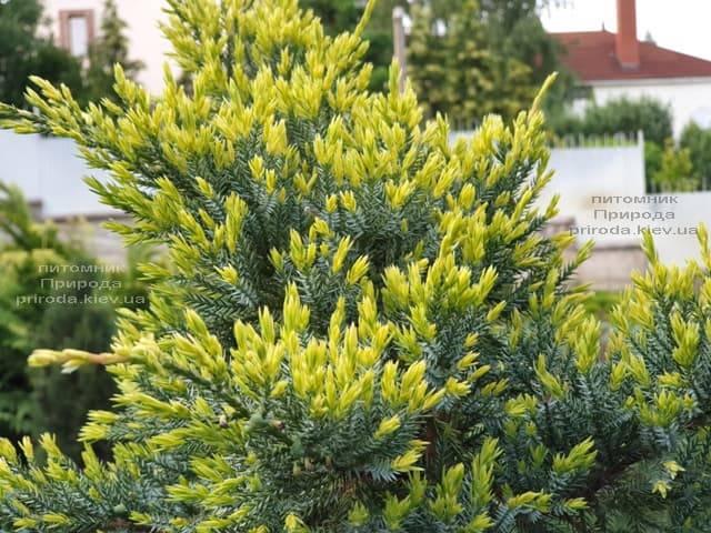 Можжевельник чешуйчатый Холгер (Juniperus squamata Holger) на штамбе ФОТО Питомник растений Природа (10)