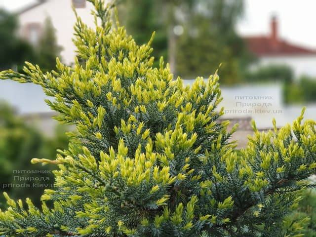 Можжевельник чешуйчатый Холгер (Juniperus squamata Holger) на штамбе ФОТО Питомник растений Природа (11)