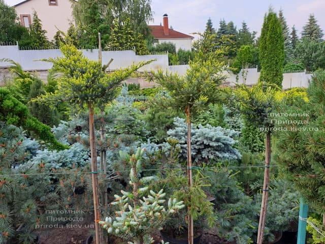 Можжевельник чешуйчатый Холгер (Juniperus squamata Holger) на штамбе ФОТО Питомник растений Природа (12)