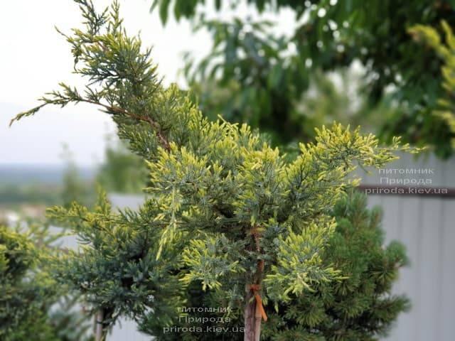 Можжевельник чешуйчатый Холгер (Juniperus squamata Holger) на штамбе ФОТО Питомник растений Природа (13)