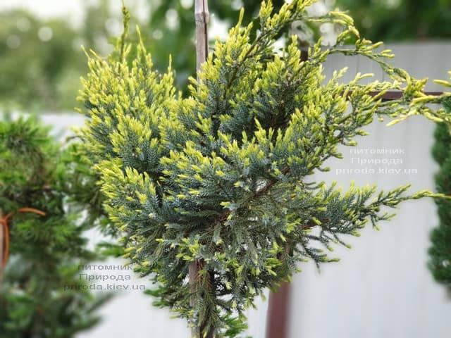 Можжевельник чешуйчатый Холгер (Juniperus squamata Holger) на штамбе ФОТО Питомник растений Природа (14)