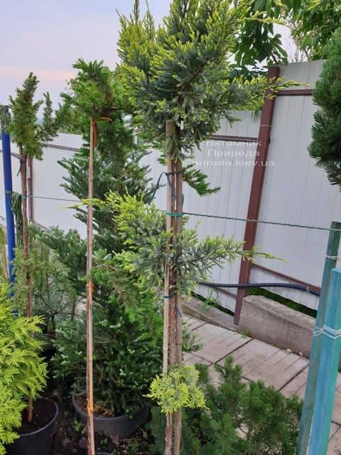 Можжевельник чешуйчатый Холгер (Juniperus squamata Holger) на штамбе ФОТО Питомник растений Природа (15)