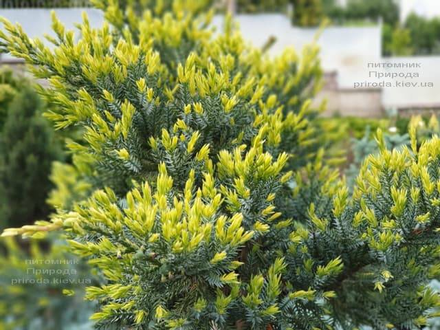 Можжевельник чешуйчатый Холгер (Juniperus squamata Holger) на штамбе ФОТО Питомник растений Природа (7)