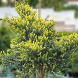 Можжевельник чешуйчатый Холгер (Juniperus squamata Holger) на штамбе ФОТО Питомник растений Природа (8)