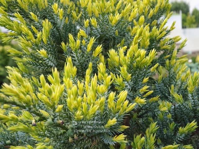 Можжевельник чешуйчатый Холгер (Juniperus squamata Holger) на штамбе ФОТО Питомник растений Природа (9)