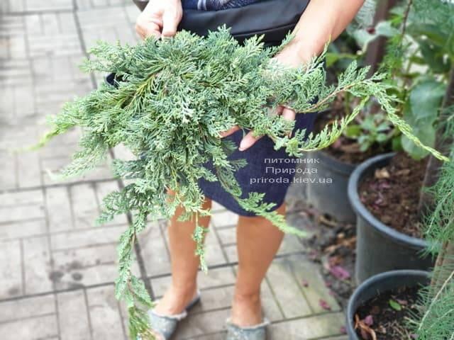 Ялівець горизонтальний Вілтон (Juniper horizontalis Wiltonii) ФОТО Розплідник рослин Природа (1)