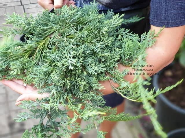 Ялівець горизонтальний Вілтон (Juniper horizontalis Wiltonii) ФОТО Розплідник рослин Природа (2)