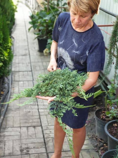 Можжевельник горизонтальный Вилтони (Juniper horizontalis Wiltonii) ФОТО Питомник растений Природа (3)