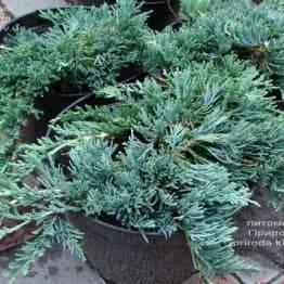 Можжевельник горизонтальный Вилтони (Juniper horizontalis Wiltonii) ФОТО Питомник растений Природа (4)