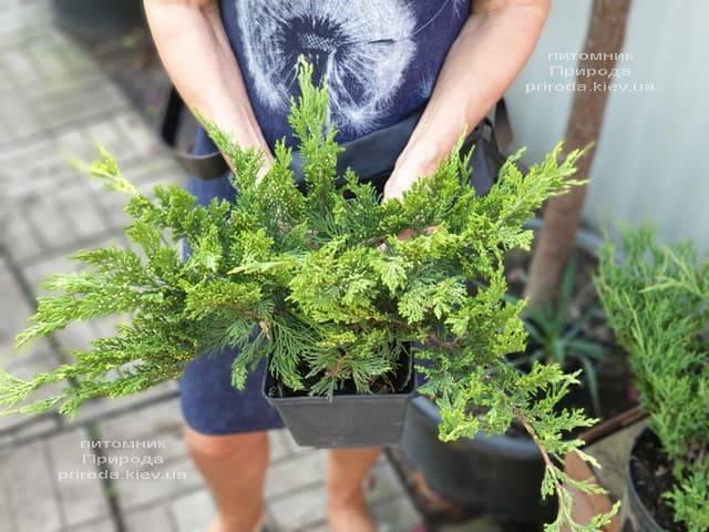 Ялівець козацький Тамарісціфолія (Juniperus sabina Tamariscifolia) ФОТО Розплідник рослин Природа (6)
