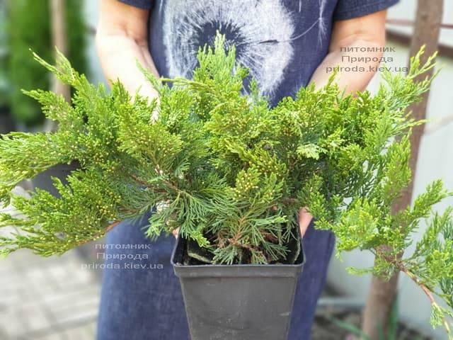 Ялівець козацький Тамарісціфолія (Juniperus sabina Tamariscifolia) ФОТО Розплідник рослин Природа (7)