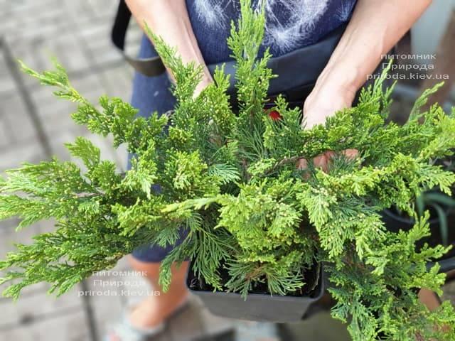 Ялівець козацький Тамарісціфолія (Juniperus sabina Tamariscifolia) ФОТО Розплідник рослин Природа (8)