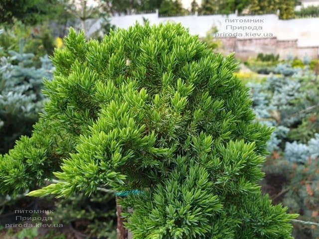 Можжевельник лежачий Нана (Juniperus procumbens Nana) на штамбе ФОТО Питомник растений Природа (1)