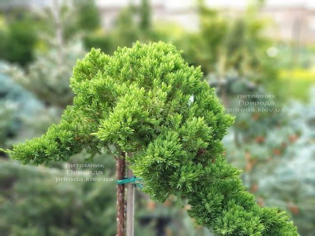 Можжевельник лежачий Нана (Juniperus procumbens Nana) на штамбе ФОТО Питомник растений Природа (2)