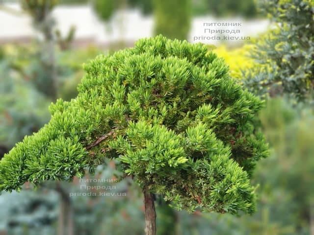 Можжевельник лежачий Нана (Juniperus procumbens Nana) на штамбе ФОТО Питомник растений Природа (3)