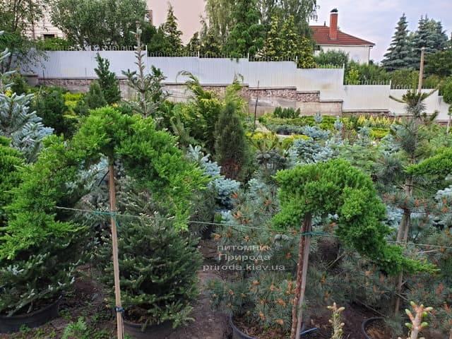 Можжевельник лежачий Нана (Juniperus procumbens Nana) на штамбе ФОТО Питомник растений Природа (4)
